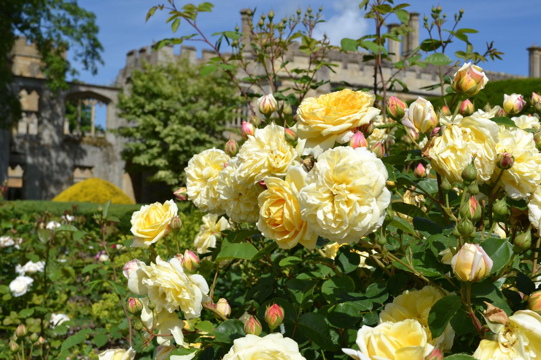 Summer roses at Sudeley Castle