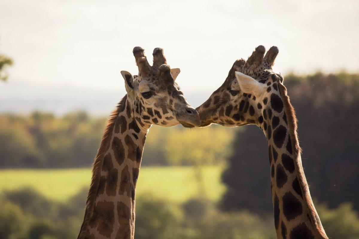 Giraffe, Cotswold Wildlife Park